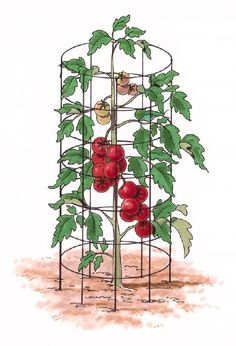 Tomato Cage - Use 60-inch, 6x6-inch welded concrete reinforcement wire to build tomato cages.