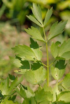 Lestyán Herbs, Plants, Garden, Farm, Yard, Plant Leaves, Medicinal Plants, Flowers