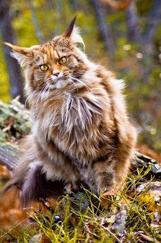 Stunning Norwegian Forest Cat                                                                                                                                                                                 Mais