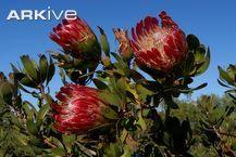 King protea videos, photos and facts - Protea cynaroides | ARKive