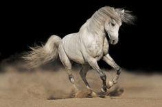 White-horse-black-background
