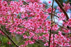 Cherry Blossom Festival- Okinawa Japan- JessicaJohnsonInteriors.com