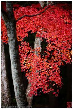 Red maple in Shodensan-so villa gardens, Uji, Kyoto, Japan.