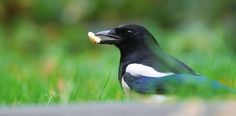 In defence of magpies: the bird world's bad boy is simply misunderstood - https://ecomentality.com/read/in-defence-of-magpies-the-bird-worlds-bad-boy-is-simply-misunderstood-2/?utm_source=PN&utm_medium=Eco+-+All&utm_campaign=SNAP%2Bfrom%2BIn+defence+of+magpies%3A+the+bird+world%27s+bad+boy+is+simply+misunderstood