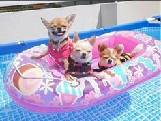 Chihuahuas livin large #chihuahua