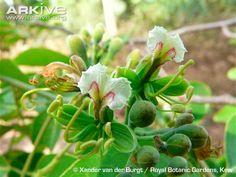 Afzelia africana flowers Rainforests, Beautiful Forest, Congo, Tropical, Gardens, Fruit, World, Amazing, Flowers