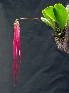 bulbophyllum plumatum, by Mikaels orchids, Lovely Lovely Thank You, Mikaels for Sharing. Unusual Flowers, Unusual Plants, Rare Flowers, Rare Plants, Exotic Plants, Cool Plants, Amazing Flowers, Beautiful Flowers, Arrangements Ikebana
