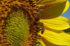 bee-keeping and honey production at Villa Campestri