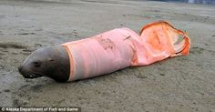 ocean problem- everything that can go into the sea & doesn't degrade quickly. Like this windsock that drowned this sea lion.