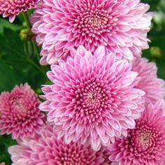 Hochzeitsblumen: Chrysanthemen