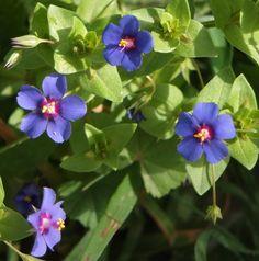 Blauer Gauchheil, eine Mittelmeerpflanze aus der Familie der Primeln.