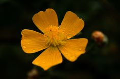 Bright yellow flower dark blur background with water droplets by Shreeharsh Ambli on 500px