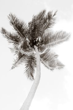 Palm Tree No. 1 Oversized Black and White Fine Art Photography Print by Cattie Coyle Photography