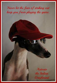 Antonio the Italian Greyhound
