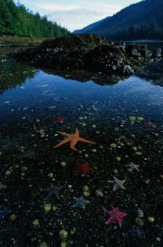 Low tide reveals sea stars (Asteroidea sp) in a marine landscape in  Burnaby Narrows, Gwaii Haanas National Park Reserve, Haida Gwaii (Queen Charlotte Islands), British Columbia by Mike Ambach