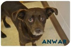 Anwar is an adoptable Labrador Retriever Dog in Bowling Green, OH. Adoption Policy All of our dogs are $75.00 Included in that price is a $50.00 certificate, which goes towards getting the dog spayed ...