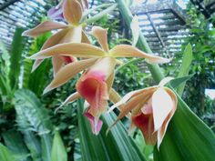 The Phaius tankervillae is a terrestrial orchid which is found in the Kelabit Highlands, Bario in the Miri Division. There are many Phaius species in Malaysia but the popular one is still the P. tankervillae which has large scented flowers.