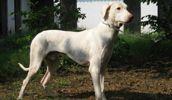 Rajapalyam dog breed information,Pictures