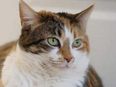 Description Calico tabby cat - Savannah.jpg -Learn more about how to care for cats at catsincare.com!