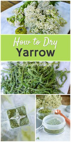 The Yarrow plant has some pretty remarkable benefits. But it only grows for a short time. Here's how to dry it to preserve it for use all year round. #foraging #preserving Yarrow Plant, Green Living Tips, Herbs Garden, Growing Seeds, Natural Lifestyle, Edible Plants, Diy Garden Decor, Herbal Remedies, Preserve