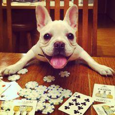 Franklin the French Bulldog {Poker Face} Instagram @franklinthefrenchbulldog