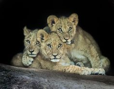 Lion Cubs by LindaDLester - Big Wild Cats Photo Contest Lion Cub Tattoo, Cubs Tattoo, Lioness Tattoo, Lioness And Cubs, Art Friend, Cute Baby Animals, Animal Babies, Safari Animals, Photo Contest
