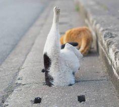 Synchronized swimming Cat.