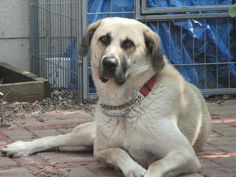 """Meet TX  Trapper, a Petfinder adoptable Anatolian Shepherd Dog 