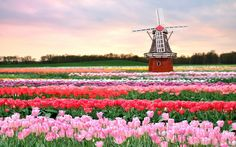 Provence has its lavender fields, Holland has its colorful tulips! Originally cultivated in the Ottoman Empire, tulips were imported into the Netherlands in the century. Tulip Fields Netherlands, Holland Netherlands, Amsterdam Tulips, Beautiful Flowers, Beautiful Places, Amazing Places, Visit Holland, Magical Images, Tulips Garden