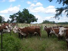 Mother Earth News: Fenceline Weaning - http://taylormadehomestead.com/mother-earth-news-fenceline-weaning/