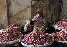 Petani Bawang Mulai Gunakan Aplikasi Pemantau Bawang Merah ~ Berita Penting