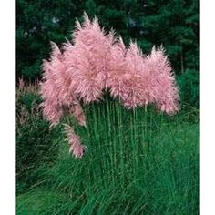 """Pink Pampas Grass (Cortaderia selloana) - You can enjoy fresh green foliage topped by long, thick dusty-pink plumes when you grow Pampas Grass seeds. These elegant ornamental grasses have """"feather duster"""" plumes from late summer and throughout the. Grass Seed, All Nature, My Secret Garden, Ornamental Grasses, Tall Grasses, Dream Garden, Lawn And Garden, Diy Garden, Garden Inspiration"""