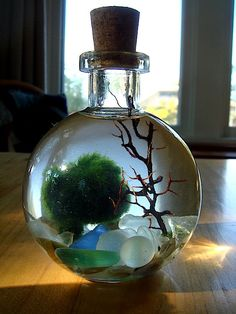 SALE! Live Marimo Balls in Mini Globe Bottle Zen Pet Terrarium