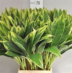 Easy To Grow Houseplants Clean the Air Cordyline Snow White Available At Wholesale Prices and Direct Uk Delivery. Plan For Your Upcoming Wedding Or Event Now With Triangle Nursery Browse Our Range Of Green Wedding and Event Flowers All Plants, Types Of Plants, House Plants, Flowers For Everyone, Easy To Grow Houseplants, Garden Site, Florist Supplies, House Plant Care, Christmas Cactus