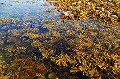 Kelp: Herb of the Week · CommonWealth Center for Holistic Herbalism Liquid Fertilizer, Organic Fertilizer, Organic Farming, Allotment Plan, Work Drama, Marine Plants, Modern Agriculture, Green Algae, Aussies
