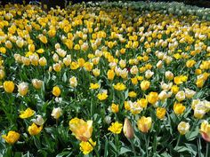 I tulipani del Castello di Pralormo - https://lefotodiluisella.blogspot.it/2017/04/tulipani-pralormo-messer-tulipano.html