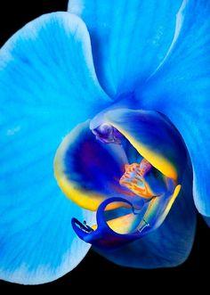 """Blue Mystique"" Phalaenopsis Orchid"