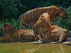 Fondos de Familia de tigres   Fondos de pantalla de Familia de tigres ...