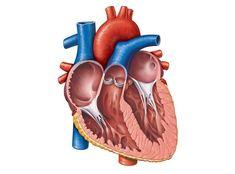 45 best heart anatomy images on pinterest heart anatomy human heart anatomy quiz ccuart Gallery