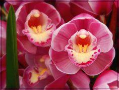 Cymbidium - Flickr - Photo Sharing! Phalaenopsis Orchid, Pink Orchids, Orchid Flowers, Alpine Plants, Wild Orchid, Orchid Care, My Secret Garden, Botanical Gardens, Garden Plants