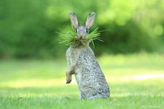 Photo by: Olivier Colle BredeneLocation: BelgiumDescription: This wild rabbit is collecting nesting material. I was watching closely as my daughter suddenly called out to this rabbit. What a great answer. Photo: Comedywildlifephoto.com