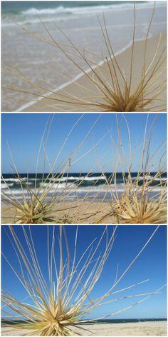 Beach Spinifex at Rainbow Beach in the Gympie Cooloola Region. www.cooloola.org.au Rainbow Beach, Flora And Fauna, Sea Foam, Australia Travel, Bucket, Country, Amazing, Places, Christmas