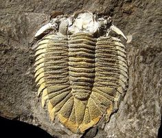Dicranopeltis scabra propinqua Trilobite | #Geology #GeologyPage #Trilobite #Fossil Name: Dicranopeltis scabra propinqua (Barrande 1846) Age: Silurian Location: Motol Formation. Lodenice Czech Republic Size: 4 cm Photo Copyright American Museum of Natural History Geology Page www.geologypage.com
