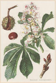 1960 Vintage Botanical Print Aesculus hippocastanum by Craftissimo