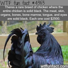 Greenfire Farms, sells rare chicken breeds. - Ayam Cemani, a rare breed of all black chickens from Indonesia. - ~WTF? weird and fun facts