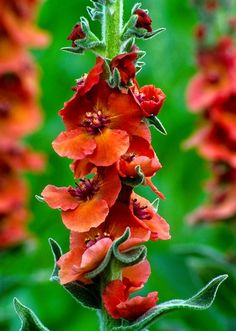 Billedresultat for verbascum helen johnson staude Helen Johnson, Planters, Gap, Plant, Window Boxes, Pot Holders, Flower Planters, Pots