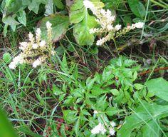 В дикой природе части растения постоянно отмирают, что провоцирует наслоение почвы. Именно поэтому так важно ежегодно наносить плодородный слой от 2 до 3 см. Исходя из того, что молодые корни располагаются именно в верхнем шаре грунта, необходимо поддерживать его постоянную влажность. С началом весны опытные садоводы обламывают засохшие ветки и выкладывают их вокруг каждого куста, присыпая землей, либо компостом. Такой шаг позволяет накапливать в почве органику.