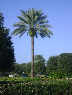Buy Medjoole Date Palm Trees, For Sale in Orlando, Kissimmee Girl Truths, Funny Dating Quotes, Couple Drawings, Music Download, Body Language, Palm Trees, Flirting, Orlando, Printables