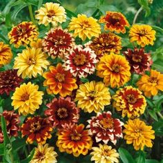 Zinnia Seeds Persian Carpet, Zinnia haageana - Wildflower Seeds from American Meadows. These annual flowers bloom and bloom throughout the summer. Great for the cutting garden, too. Orange Flowers, Colorful Flowers, Wild Flowers, Beautiful Flowers, Planting Seeds, Planting Flowers, Flowering Plants, Zinnia Elegans, American Meadows