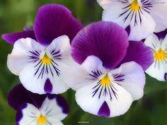 Resultados de la Búsqueda de imágenes de Google de http://stuffkit.com/wp-content/uploads/2012/07/Beautiful-Flowers-HD-Wallpapers-Flowers-closeup.jpg